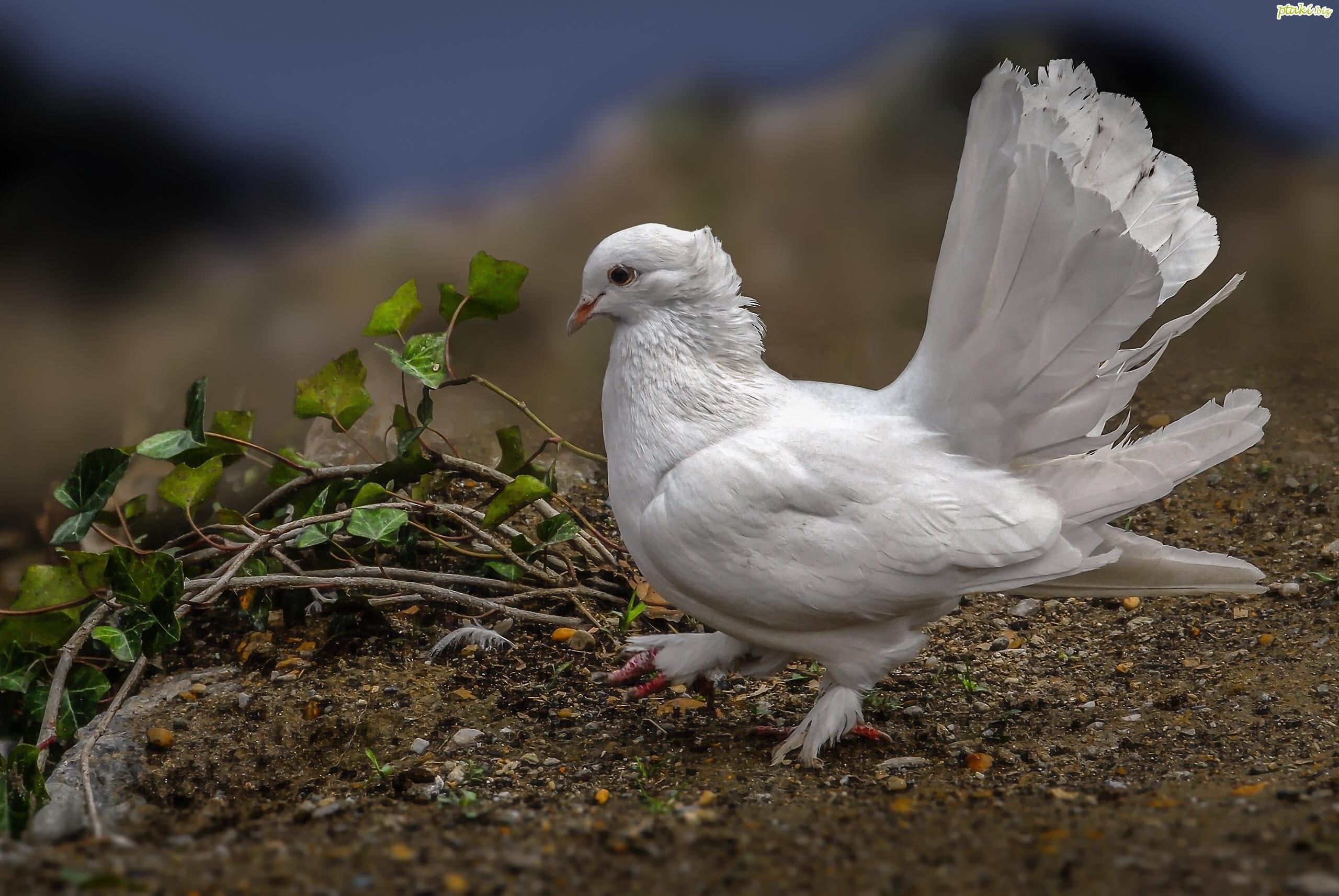 pigeon wallpaper hd