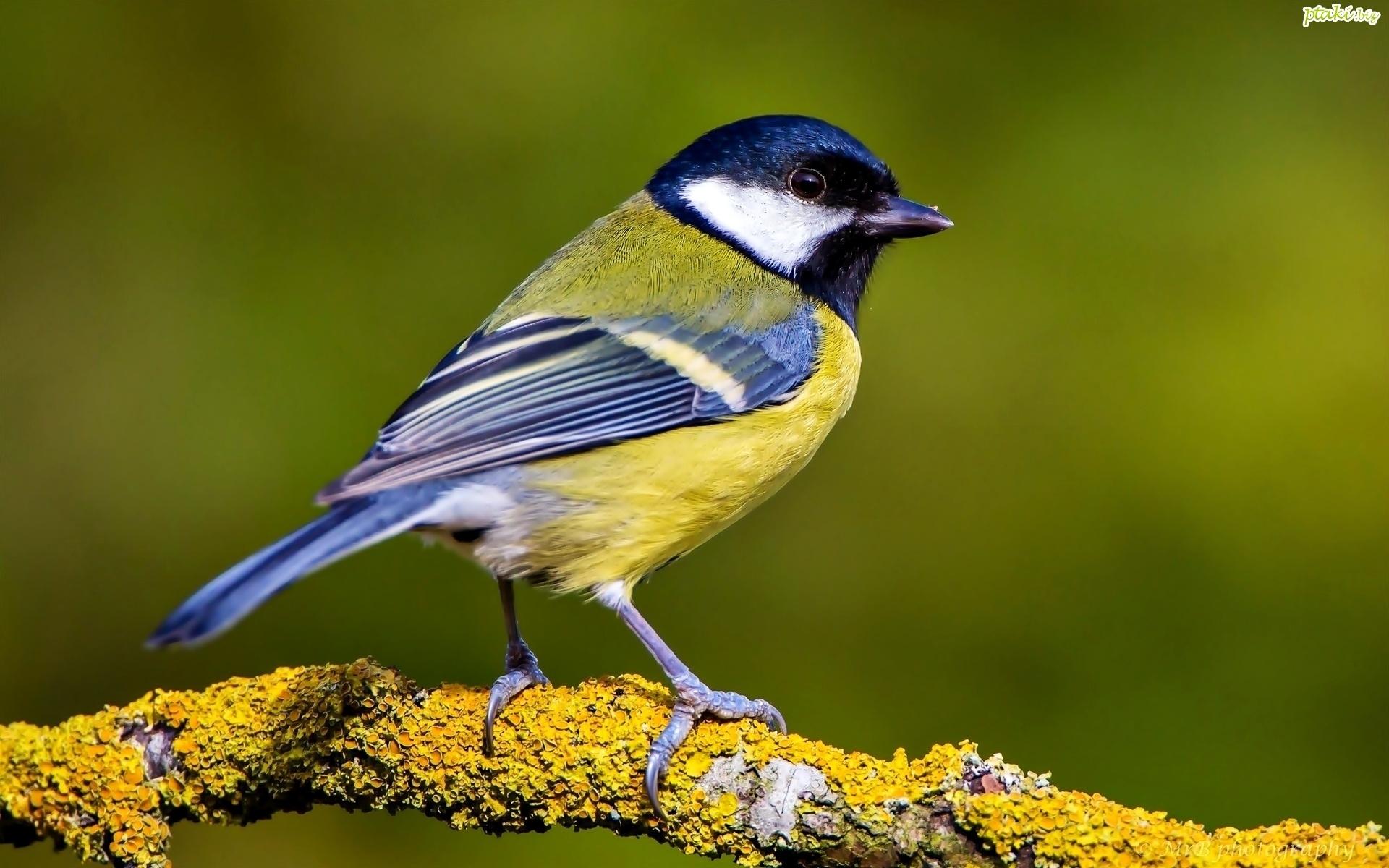 Ptak Sikorka Gałąż
