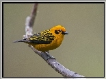 Tanager, Zloty